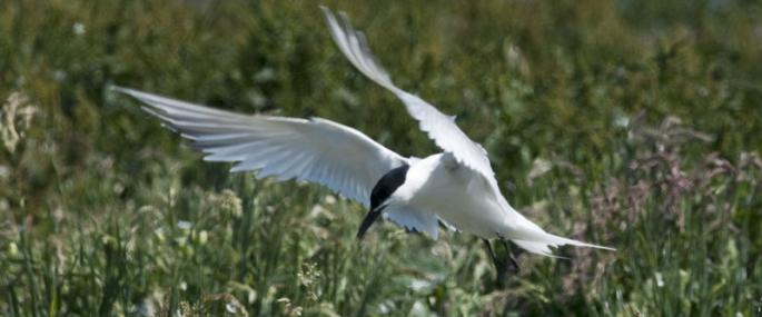 Sandwich tern  - northeastwildlife.co.uk - northeastwildlife.co.uk