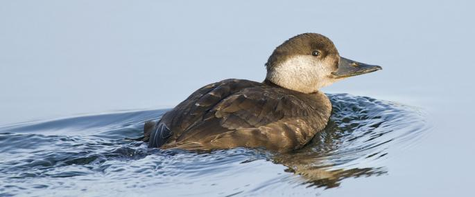 Female common scoter - northeastwildlife.co.uk - northeastwildlife.co.uk