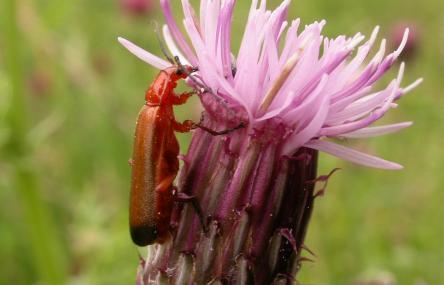 Soldier beetle - Philip Precey - Philip Precey