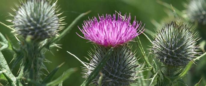 Spear thistle - northeastwildlife.co.uk - northeastwildlife.co.uk