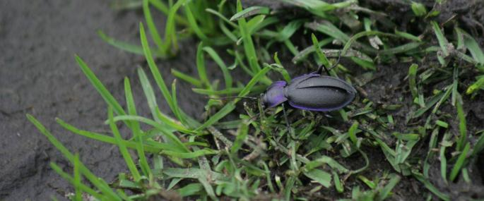 Violet ground beetle - Richard Carter - Richard Carter