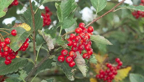 Fruiting whitebeam - northeastwildlife.co.uk - northeastwildlife.co.uk