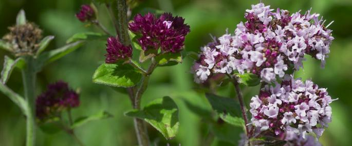 Wild marjoram - northeastwildlife.co.uk - northeastwildlife.co.uk