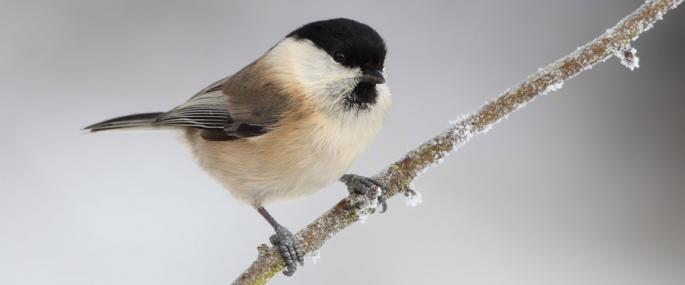 Willow tit - Karen Summers