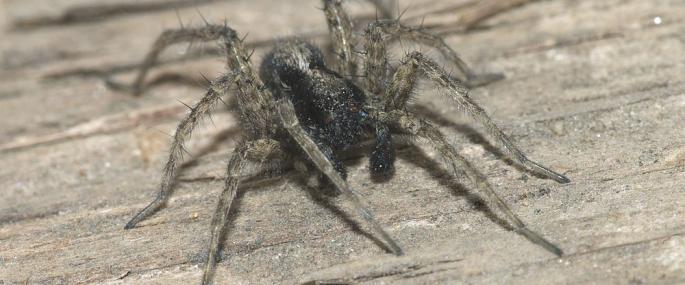 Wolf Spider | Hampshire & Isle of Wight Wildlife Trust