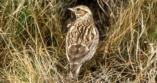 Woodlark - The Berks, Bucks & Oxon Wildlife Trust - The Berks, Bucks & Oxon Wildlife Trust