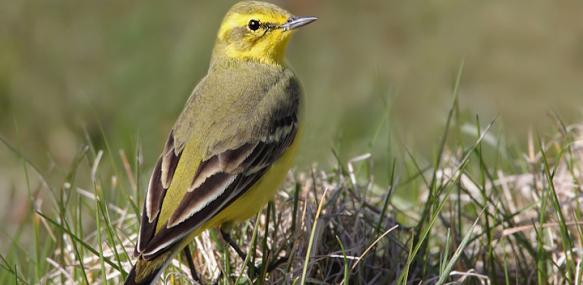 Yellow wagtail - Karen Summers - Karen Summers