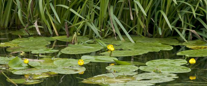 Yellow water lily - northeastwildlife.co.uk - northeastwildlife.co.uk