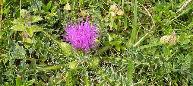 Dwarf thistle - Photo by Dluogs