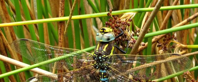 Common hawker - David Kitching