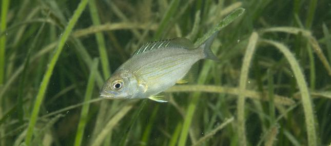 Juvenile Sea Bream - Paul Naylor - Paul Naylor