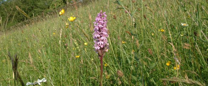 Orchids on Common Hill -