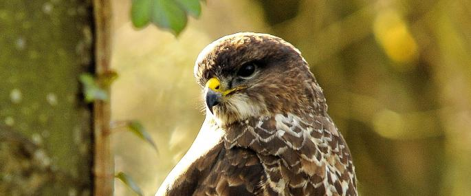 Common buzzard - Steve Waterhouse - Steve Waterhouse