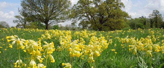 Cowslips at Fulbourn Fen. -