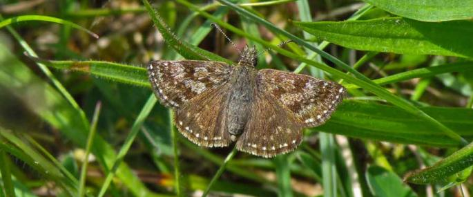 Dingy skipper - Mark Peacock