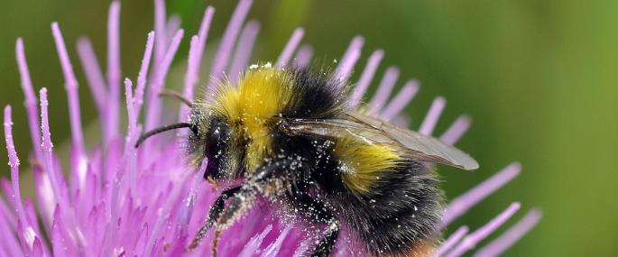Early bumblebee - Photo by Peter Creed