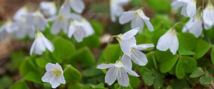 Wood sorrel - © Chris Perrett