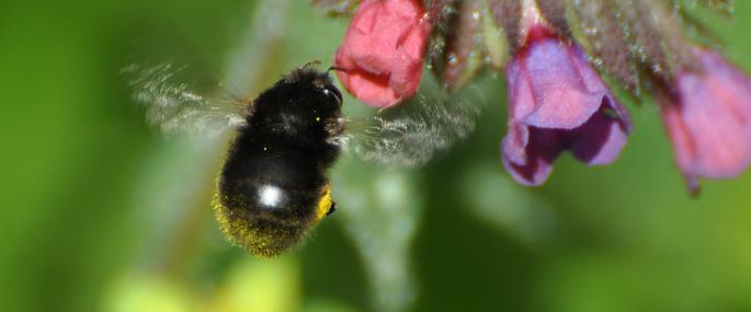 Female hairy-footed flower bee - Photo by Peter Creed