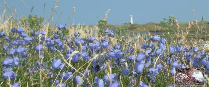 Harebells and view to lighthouse on South Walney -