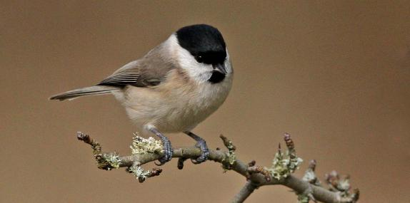 Marsh tit - Margaret Holland