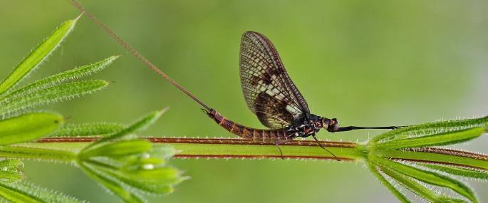 - Mayfly (c) Margaret Holland