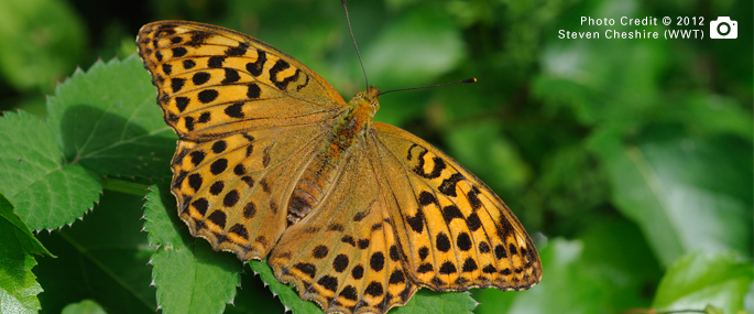 Silver-washed Fritillary at Oakley Wood - Steven Cheshire (WWT) 2014