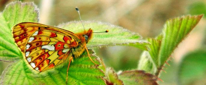 Pearl-bordered Fritillary © MWT/Tammy Stretton - MWT/Tammy Stretton