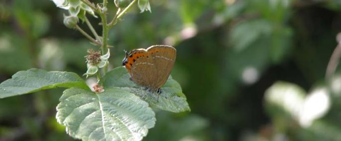 black hairstreak - Tony Croft/BBOWT