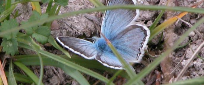 Male chalkhill blue - Photo by Tony Croft/BBOWT