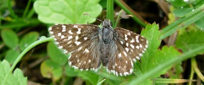 Grizzled skipper - Photo by Kate Dent