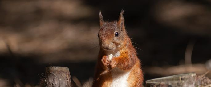 - Red squirrel (Image: Mike Snelle)