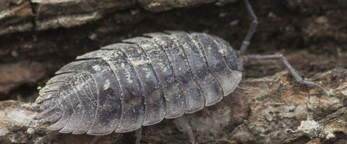 Common shiny woodlouse - northeastwildlife.co.uk