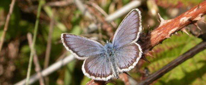 Silver studded blue - Credit: Philip Precey