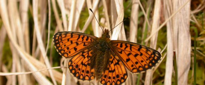 Small Pearl-bordered Fritillary copyright Philip Precey - Philip Precey