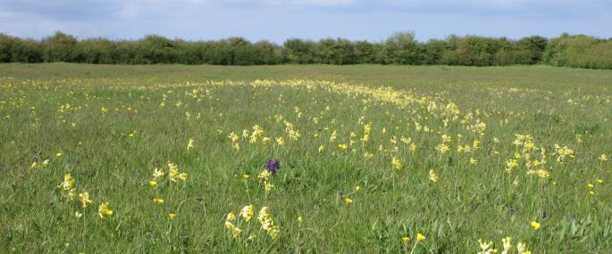 Cowslips in Spendluffe Meadows - Barrie Wilkinson