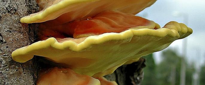 Sulphur polypore - Les Binns