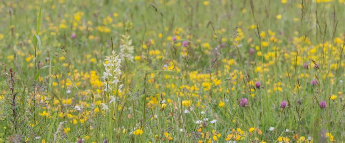 Tasker's Meadow flowers and orchids -