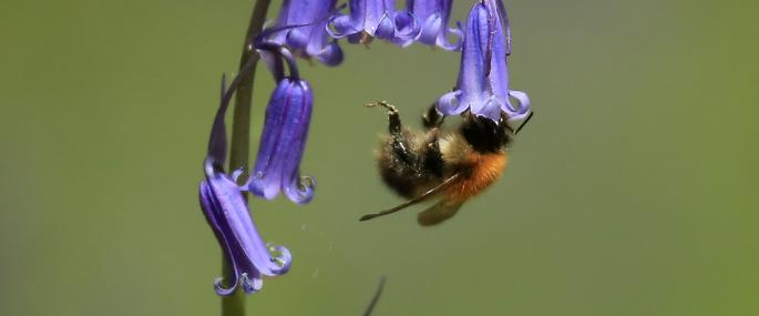 Tree bumblebee - Photo by Jon Hawkins - Surrey Hills Photography