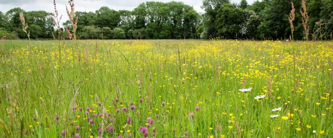 Southorpe Meadow - Sarah Lambert
