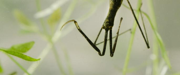 Water stick insect - Jack Perks