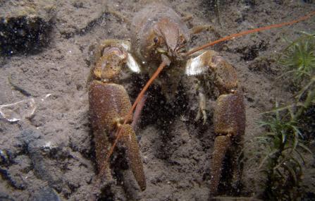 White-clawed Crayfish - Andy Kirkland - Andy Kirkland