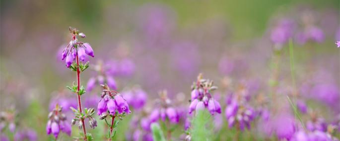 Bell heather - Bell heather. Photo by Tom Marshall