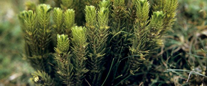 Fir Clubmoss -