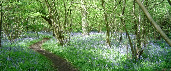 Gutteridge Wood bluebells -