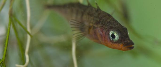 Underwater view of three-spined stickleback - Jack Perks