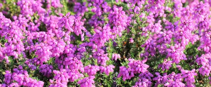 Bell heather in flower - Tony Short