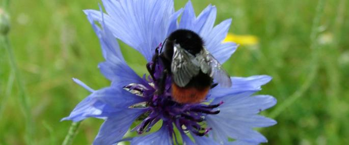 Red-tailed bumblebee on cornflower (c) Anna Williams - Anna Williams