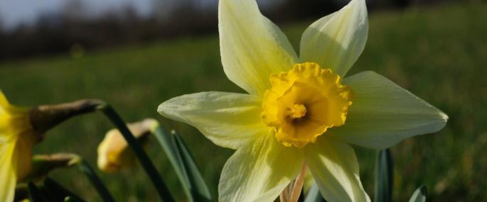 wild daffodil (c) Zsuzsanna Bird - wild daffodil (c) Zsuzsanna Bird