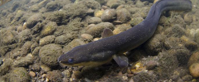 Underwater view of a European eel - Jack Perks