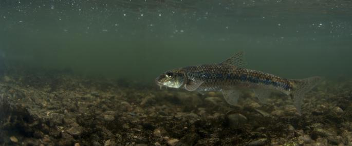 Underwater view of gudgeon - Jack Perks